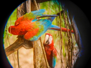 Macaws playing in the Peruvian Amazon. Love the vibrancy