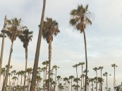 Iconic California Palm Trees